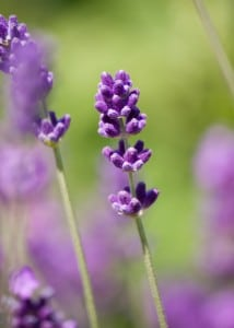 lavender-flower-close-up